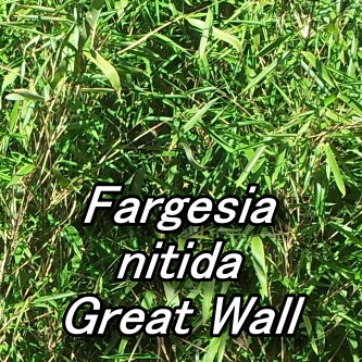 Fargesia nitida Great Wall